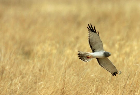 A male northern harrier hawk flies low over a marsh  at the Bowdoin Lake Wildlife Refuge near Malta on a May day.