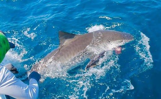 Record tiger shark caught near Marco Island