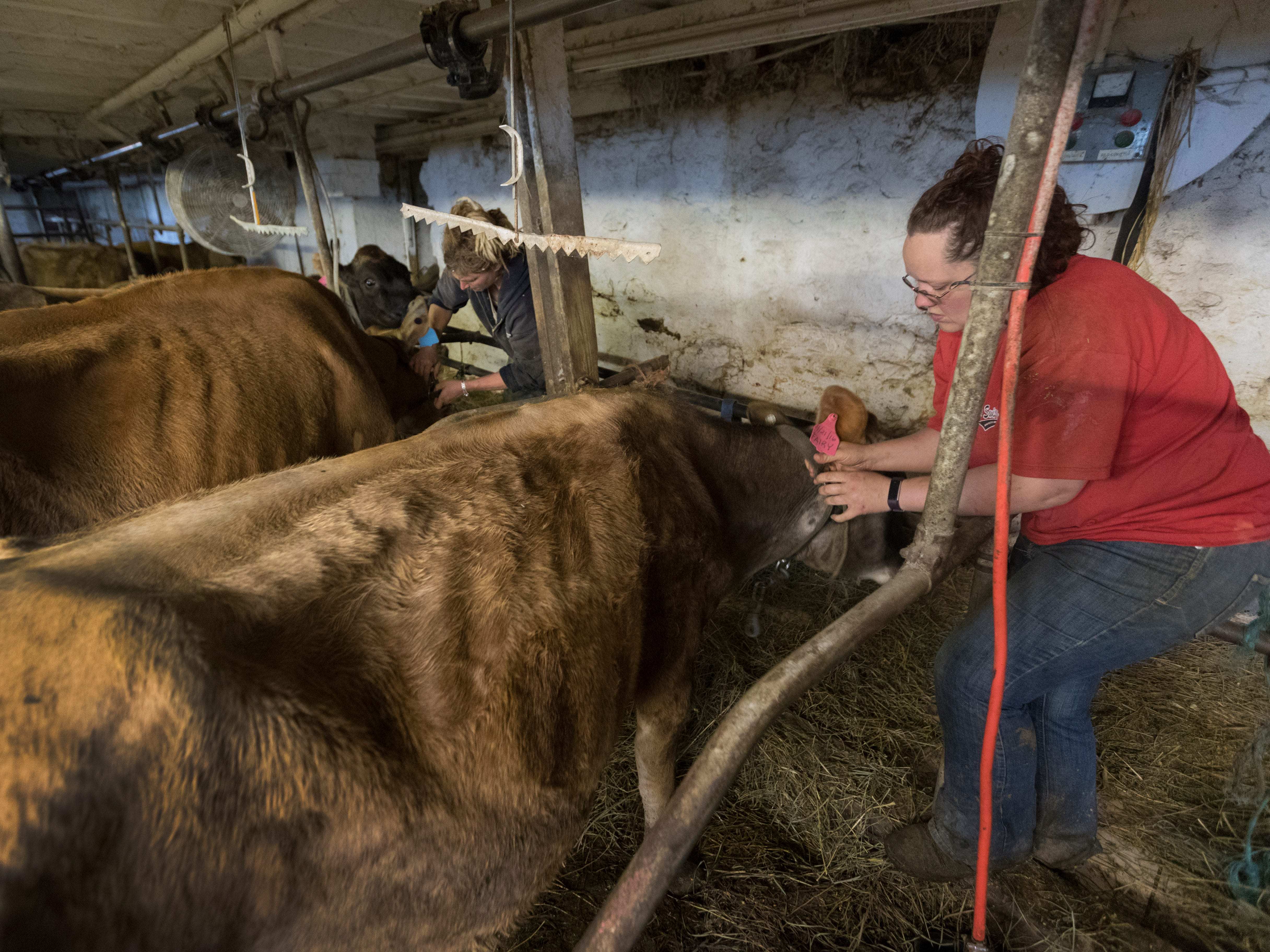 Brandi, right, and Emily Harris remove the collars from their cows before the cows are loaded onto trailers.