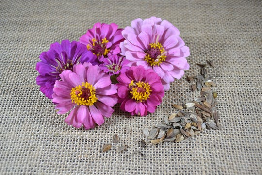 Zinnias are an ideal flower for growing from seed sown directly in your garden.