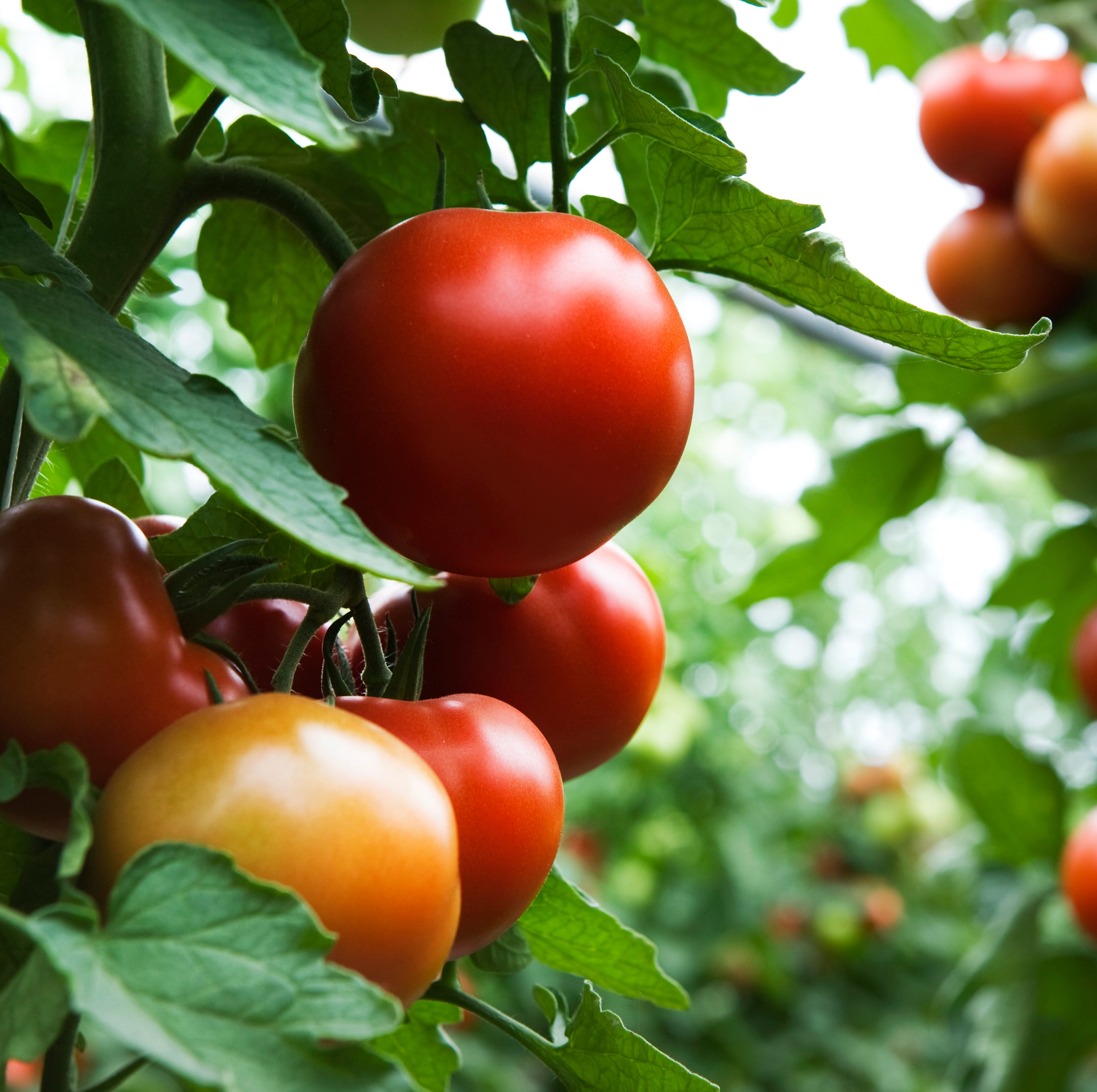 Get Up and Grow: This is Tomato Country!