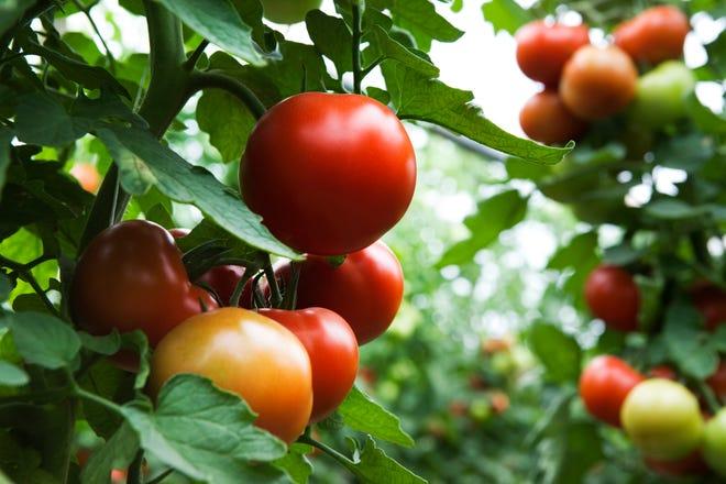 plant of tomato