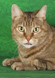 Miss Kitty is available for adoption at 952 W. Melody Ave. in Gilbert. For more information, call 480-497-8296 or email FFLcats@azfriends.org.