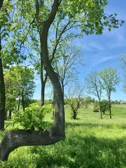 "Answer Man: Is this crooked tree a Native American ""marker"" tree?"