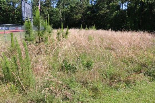 A prescribed fire demonstration is planned for Lower School students at the new longleaf pine ecosystem restoration area on Maclay's campus Friday.