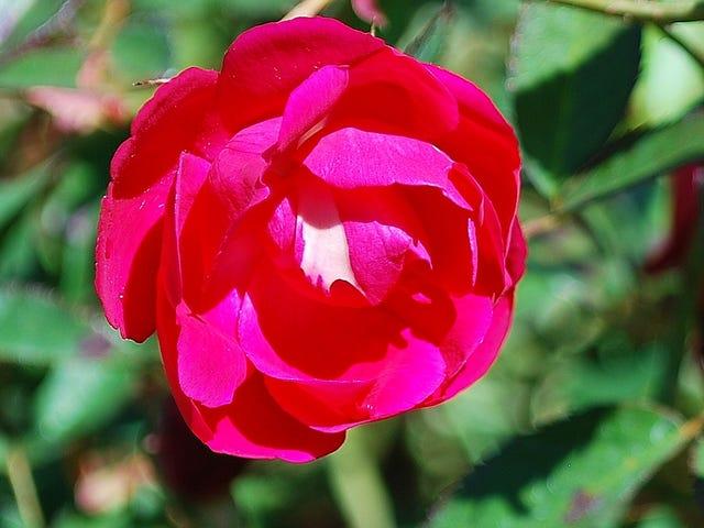 Yard Doc Louis Philippe Roses Heat Tolerant Disease Resistant