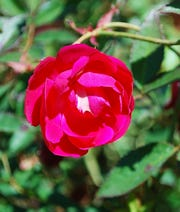 """Rose """"Louis Philippe"""" is an Old Garden Rose or heirloom variety. The blooms have a beautiful fragrance, unlike some of the more modern varieties. Roses smell sweetest in mild, damp mornings when the sun hits them."""
