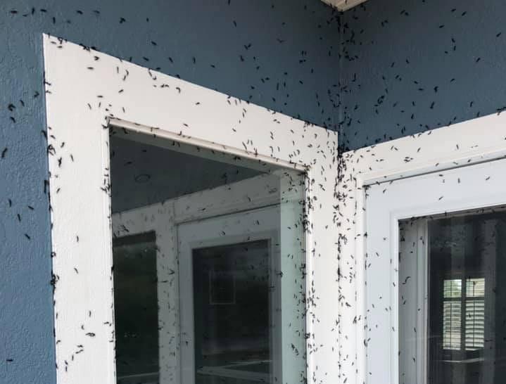 Lovebugs, lovebug season photo via Facebook