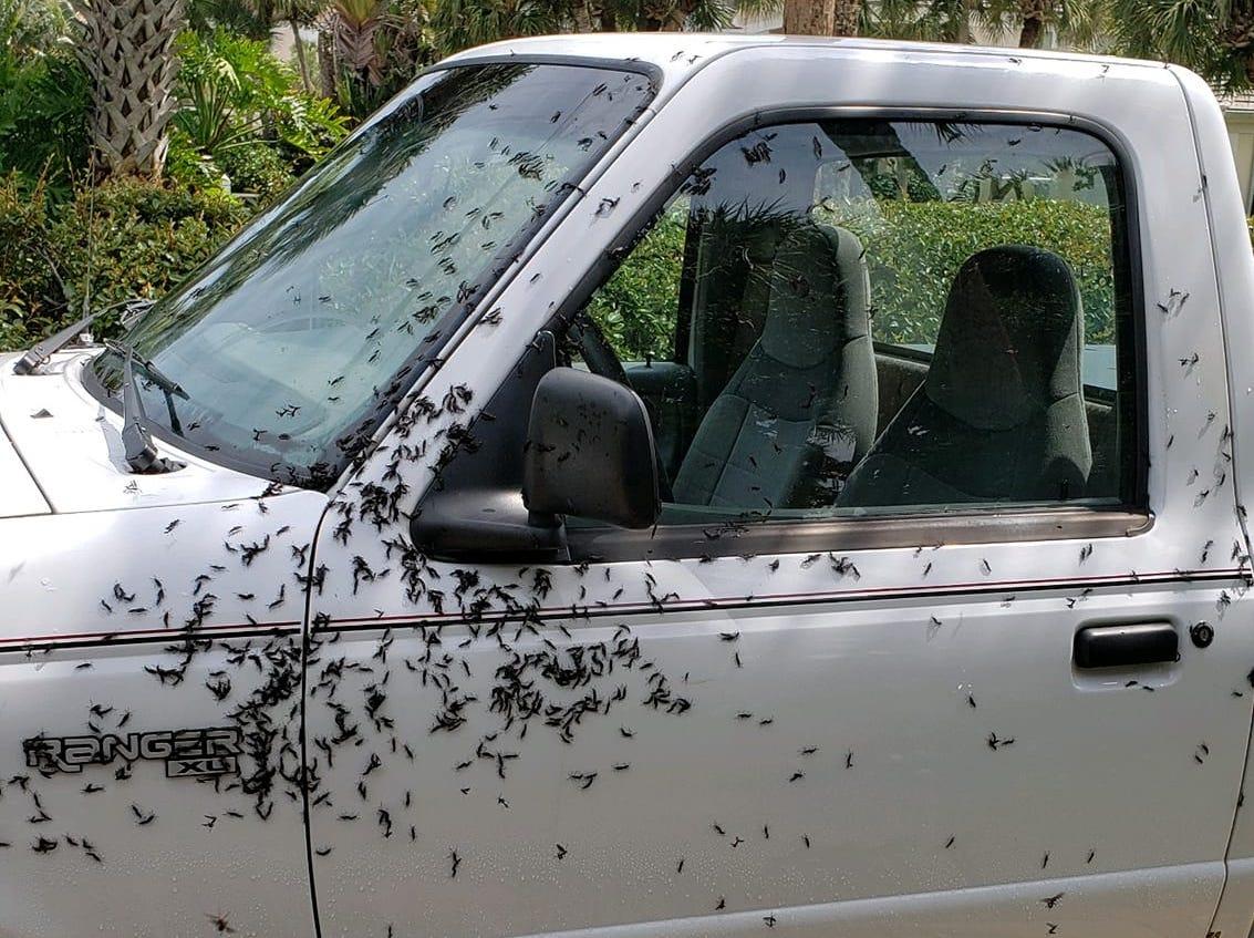 "Lovebugs and lovebug season photo via Facebook: ""A friends truck. Oceanside"""