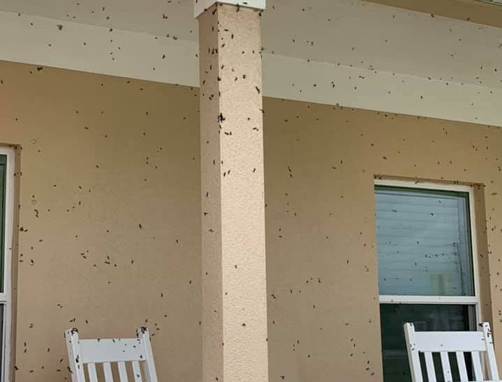 """Lovebugs photo via Facebook: """"My house is covered."""""""