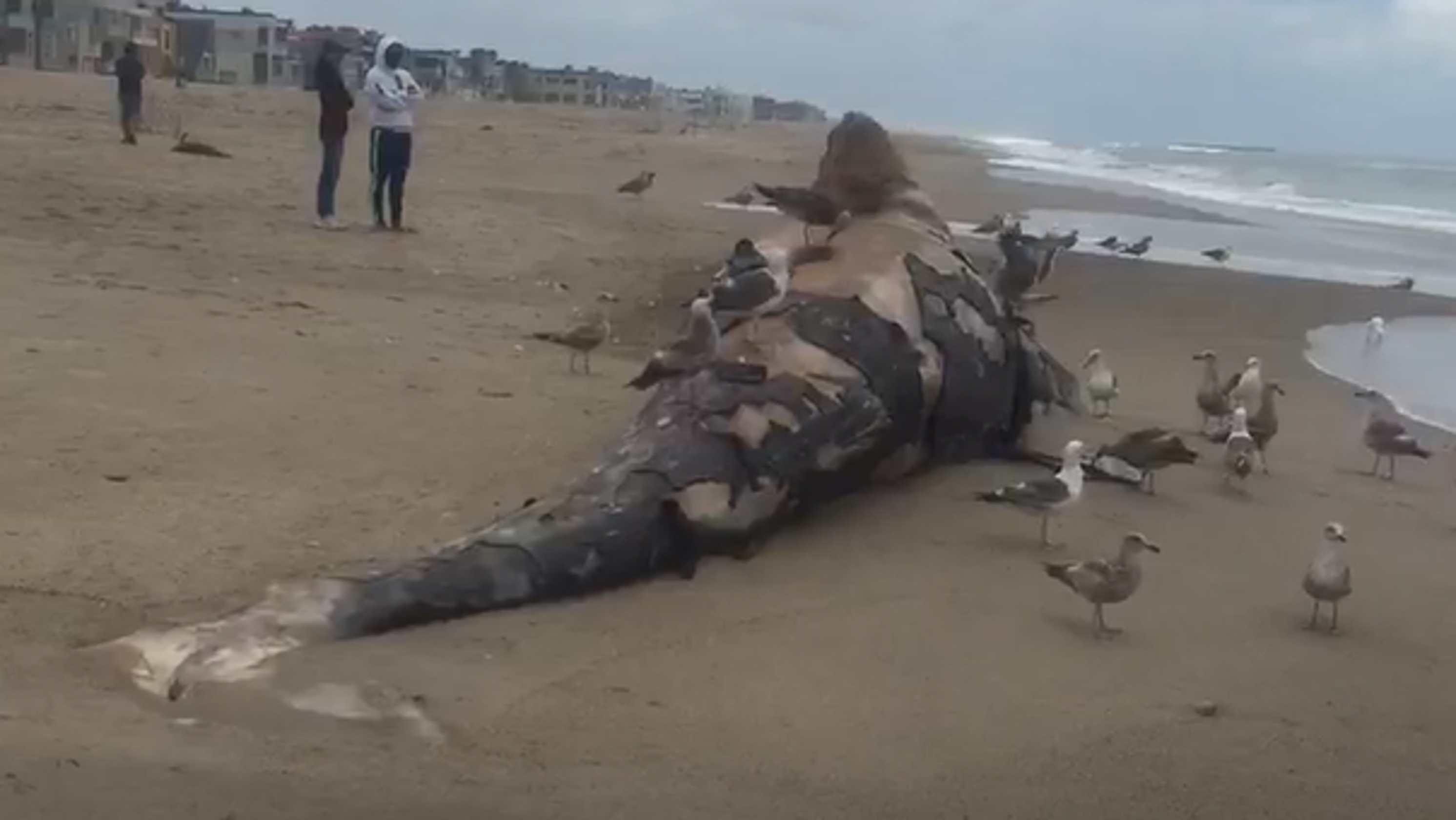 Dead gray whale washes up in Oxnard as more of the sea