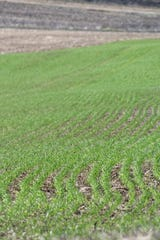 A field of winter wheat has emerged after a long winter in a field east of Fond du Lac.
