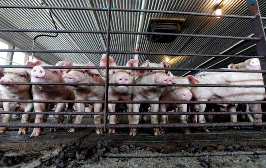 An Iowa outfit is planning to build a $20 million large-scale farm for more than 26,000 hogs in northern Wisconsin.