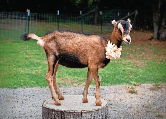 Oberhasli/La Mancha cross breed goat