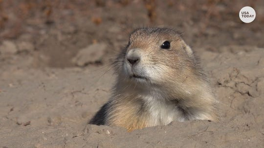 Prairie dogs with the plague keep parts of Colorado wildlife refuge shut down