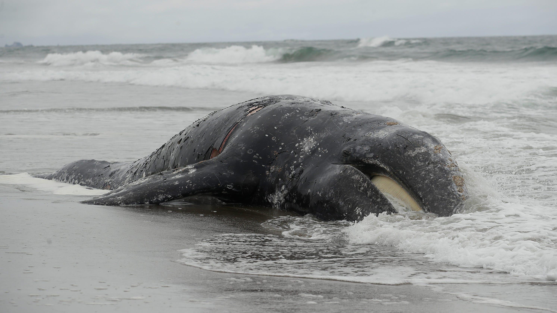 Dead Whale On Ocean Beach In San Francisco Bay Area Is 9th