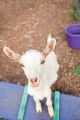 Saanen breed of goat