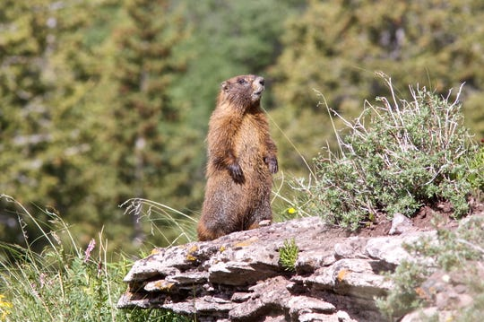 This file photo shows a yellow-bellied marmot in the United States. A couple in Mongolia died from the bubonic plague after eating raw marmot meat.