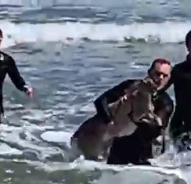 Swimming deer rescued from ocean by surfers in Belmar