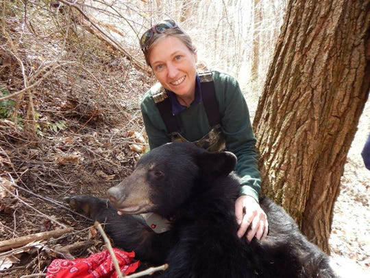N.C. Wildlife Resources Commission bear biologist Colleen Olfenbuttel with a  black bear found in a tree den during the Asheville Urban/Suburban Bear Study.