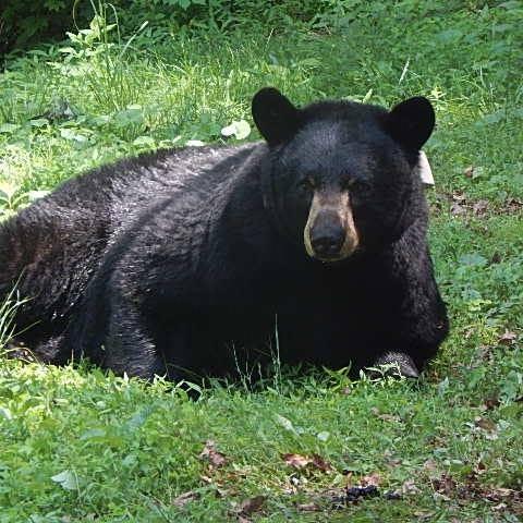 Where do black bears live in Asheville? Where do they den? Sneak peek at urban bear study results