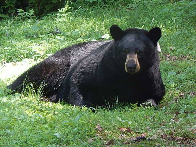 Bear N027 resting after a workup by researchers with the Asheville Urban/Suburban Bear Study, who captured 245 bears from 2014-2018 to radio collar, measure and weigh them.