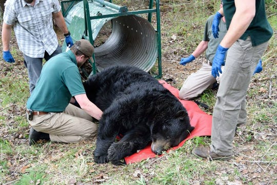 Researchers with N.C. State and the N.C. Wildlife Commission capture and take data from Bear N013 during the first phase of the Asheville Urban/Suburban Bear Study.
