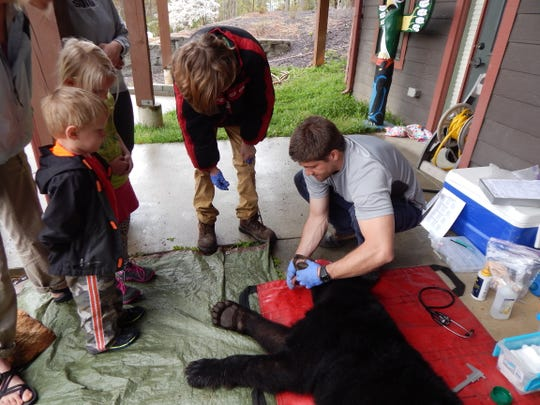 N.C. State University doctoral candidate Nick Gould shows a young audience how to age a black bear trapped in their yard by checking the bear's teeth as part of the Asheville Urban/Suburban Bear Study.