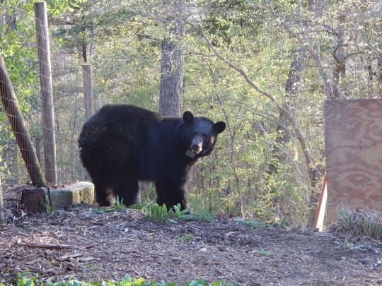 "Bear ""N001"" was the first black bear captured and radio collared in the first phase of the Asheville Urban/Suburban Bear Study, which began in April 2014."