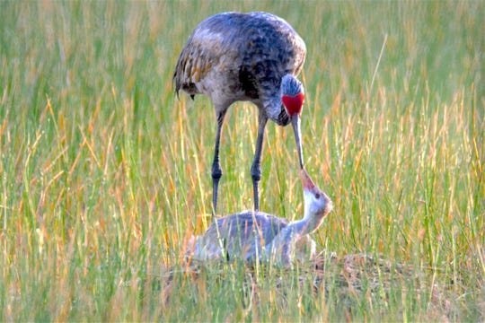 Sandhill crane baby RaeAnn was born on St. Patrick's Day 2019 in the South Brevard town of Malbar.