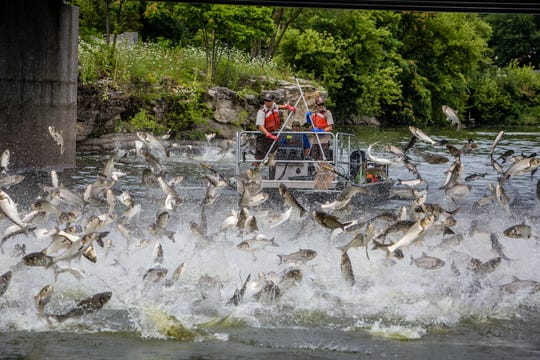 Silver carp not only deplete the base of the food chain, their habit of jumping to evade danger poses a threat to boaters.