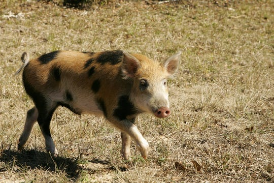 Wild hogs are reservoirs of disease and cause millions of dollars in damage each year in Mississippi.