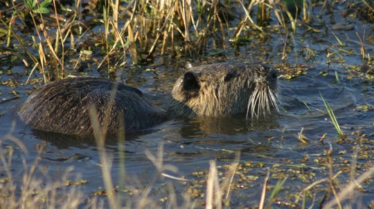 Imported from South America, nutria burrow and cause damage to levees and their taste for aquatic vegetation leads to increased erosion of marsh lands.