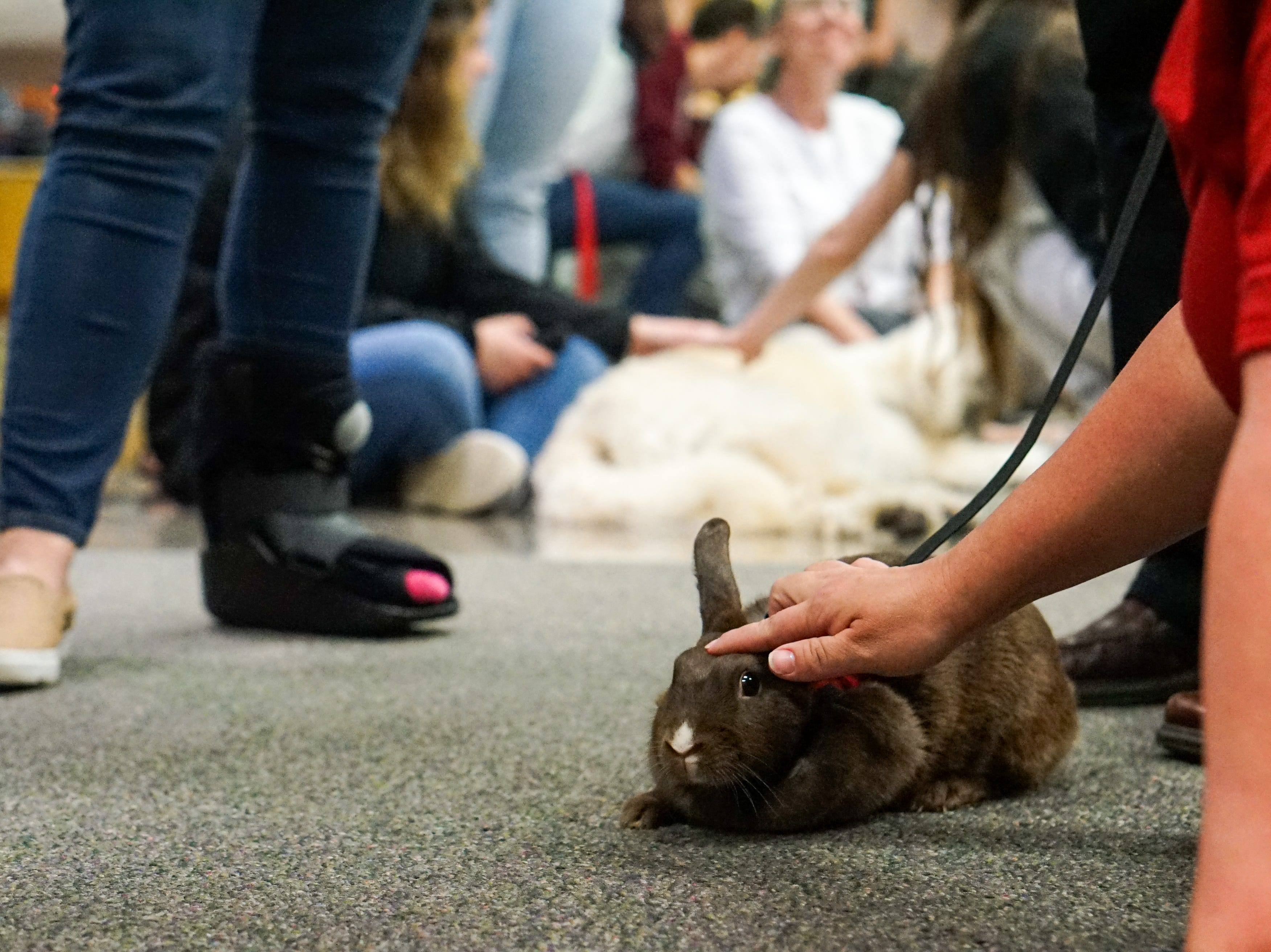 Students pet a therapy rabbit in the Edith Garland Dupré Library Wednesday, May 8, 2019. The University of Louisiana at Lafayette helps students to relieve stress during finals week by bringing therapy animals, to the library as part of Stress Relief Week. The therapy dogs are provided by Pet Partners of Acadiana, a non-profit organization with registered therapy animals, including birds, miniature horses, rabbits and  llamas.
