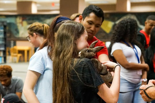 A student holds a therapy rabbit  in the Edith Garland Dupré Library Wednesday, May 8, 2019. The University of Louisiana at Lafayette helps students to relieve stress during finals week by bringing therapy animals, to the library as part of Stress Relief Week. The therapy dogs are provided by Pet Partners of Acadiana, a non-profit organization with registered therapy animals, including birds, miniature horses, rabbits and  llamas.