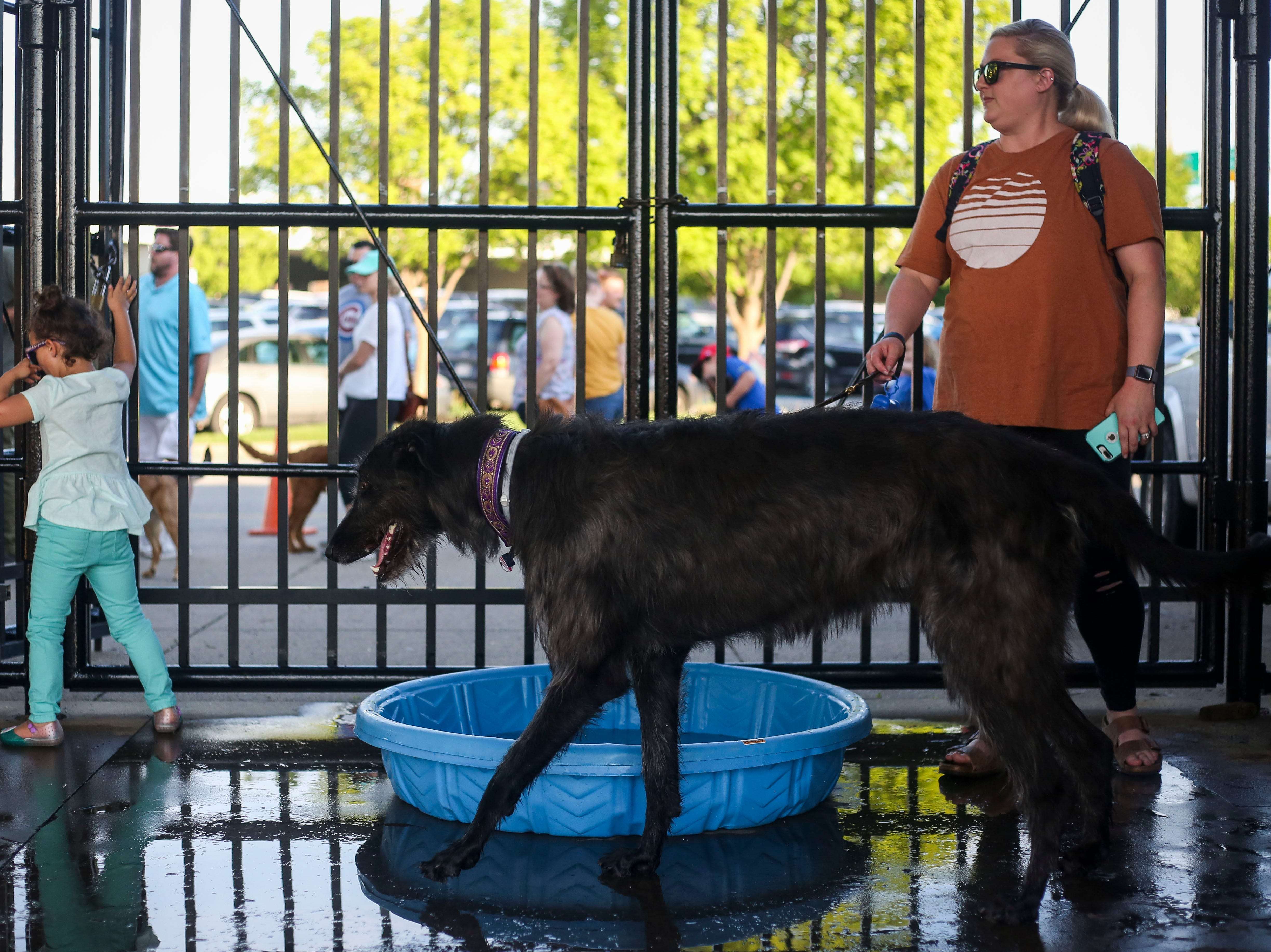 Raven the Irish wolfhound plays in water with her owner Andrea Spencer during the Louisville Bats v. Syracuse Mets game during Dog Day Nights at Louisville Slugger Field in downtown Louisville, Ky. on Tuesday, May 7, 2019.