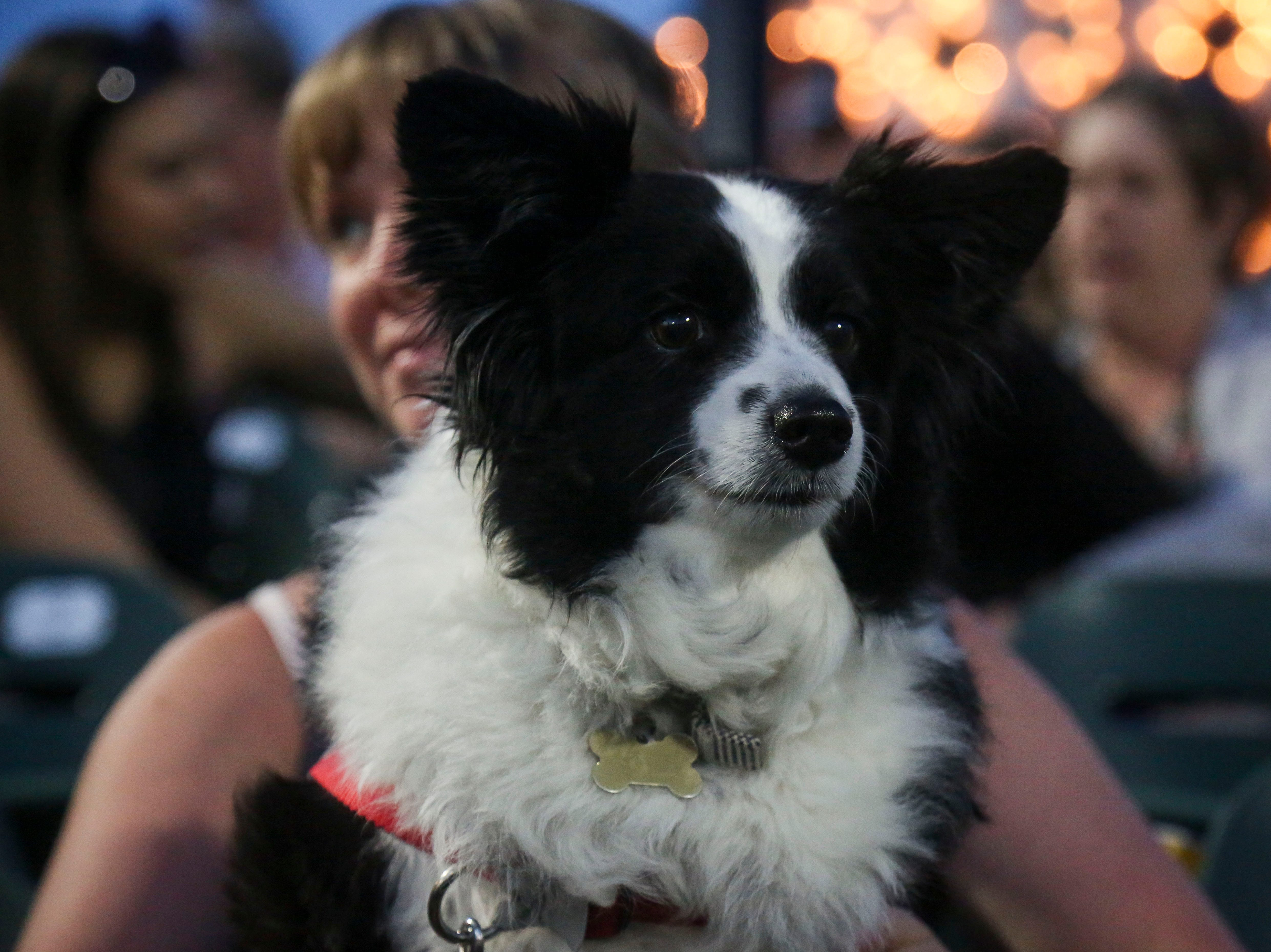Grace, the Toy Australian Shepard, watches the Louisville Bats v. Syracuse Mets game during Dog Day Nights at Louisville Slugger Field in downtown Louisville, Ky. on Tuesday, May 7, 2019.