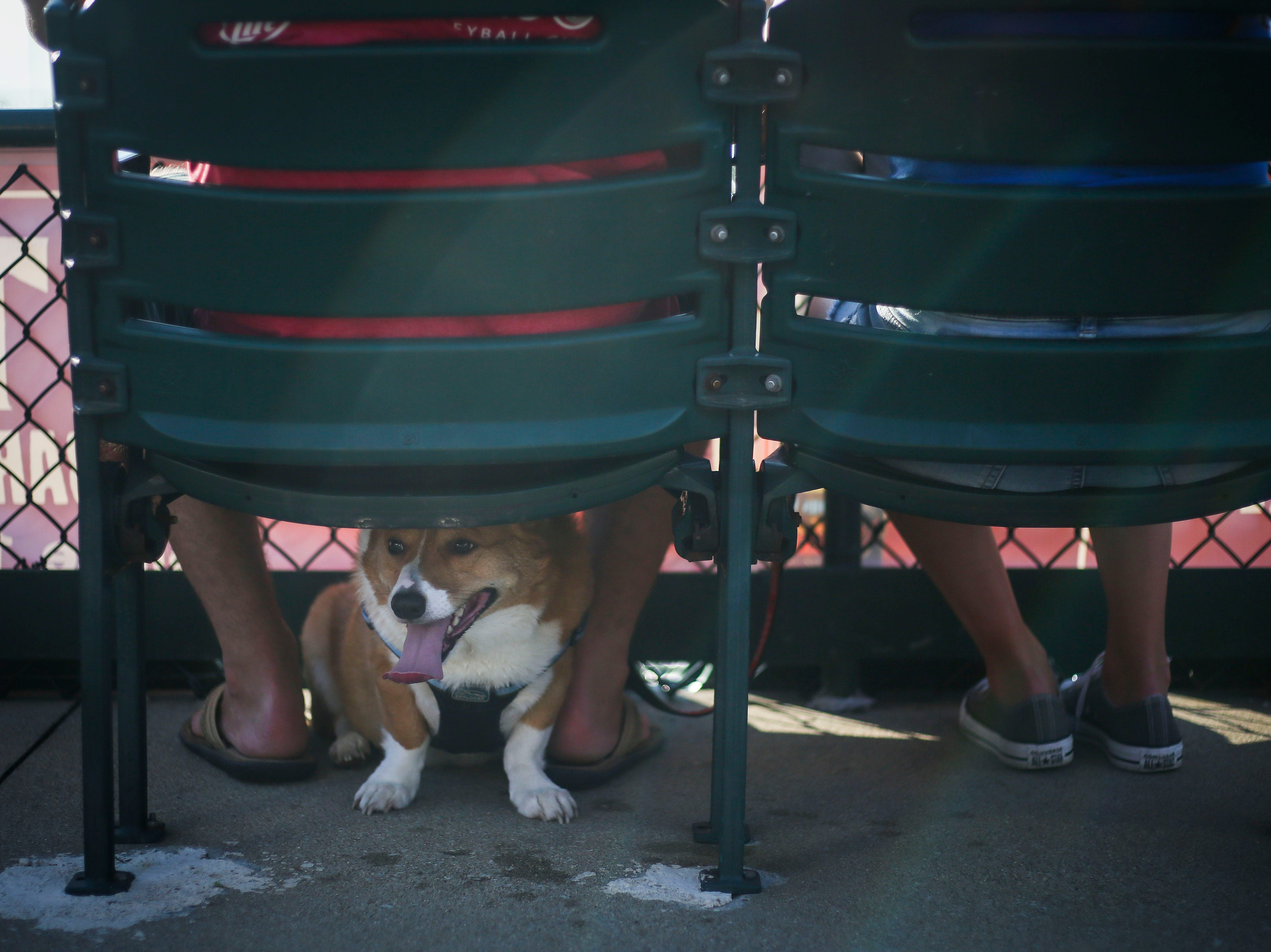 Cooper the corgi hits from the sun under the feet of Dustin Korb, left, and Erin Korb, right, as they watch the Louisville Bats v. Syracuse Mets game during Dog Day Nights at Louisville Slugger Field in downtown Louisville, Ky. on Tuesday, May 7, 2019.