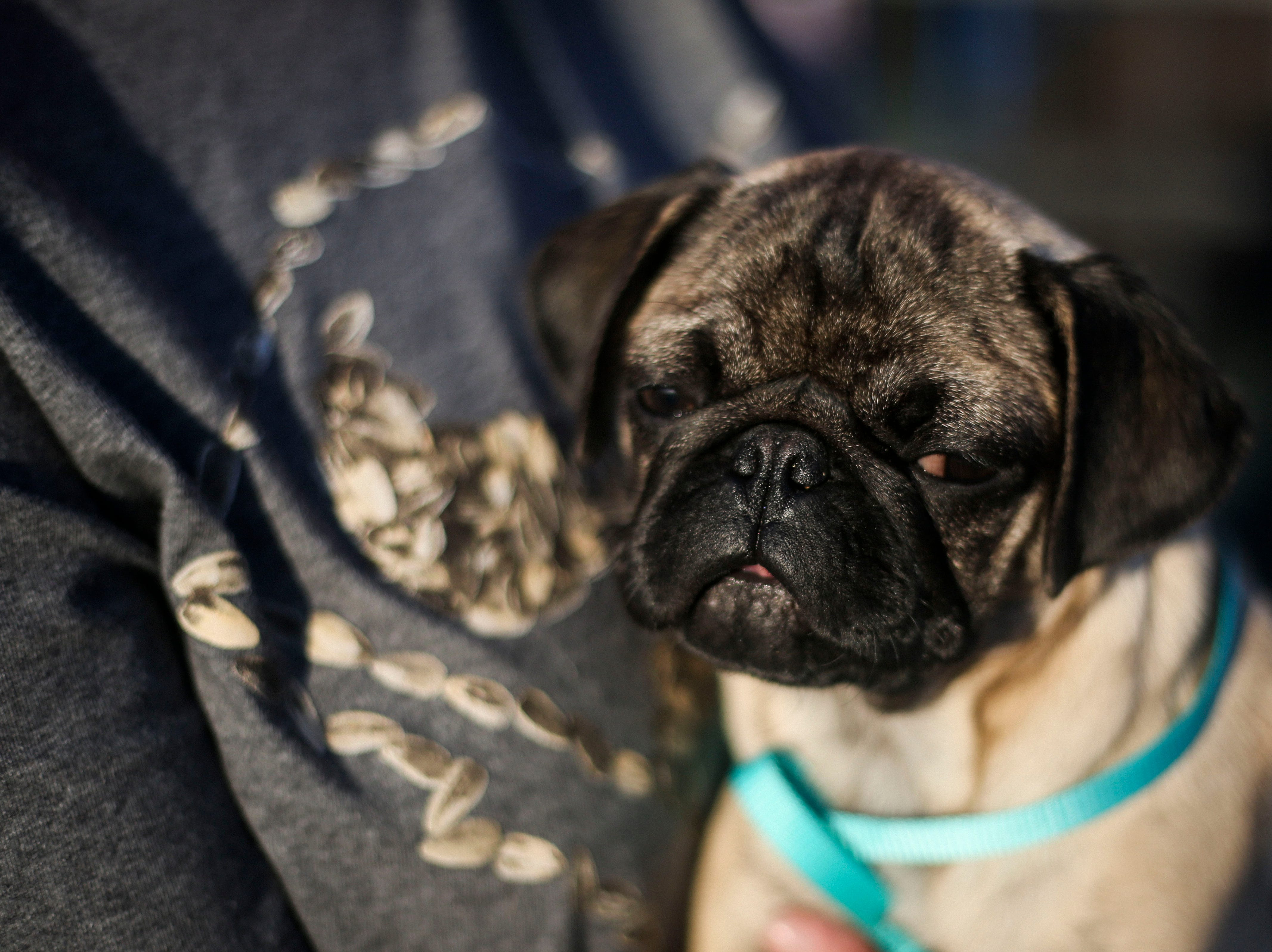 Gidget the pug is held by her owner during the Louisville Bats v. Syracuse Mets game during Dog Day Nights at Louisville Slugger Field in downtown Louisville, Ky. on Tuesday, May 7, 2019.