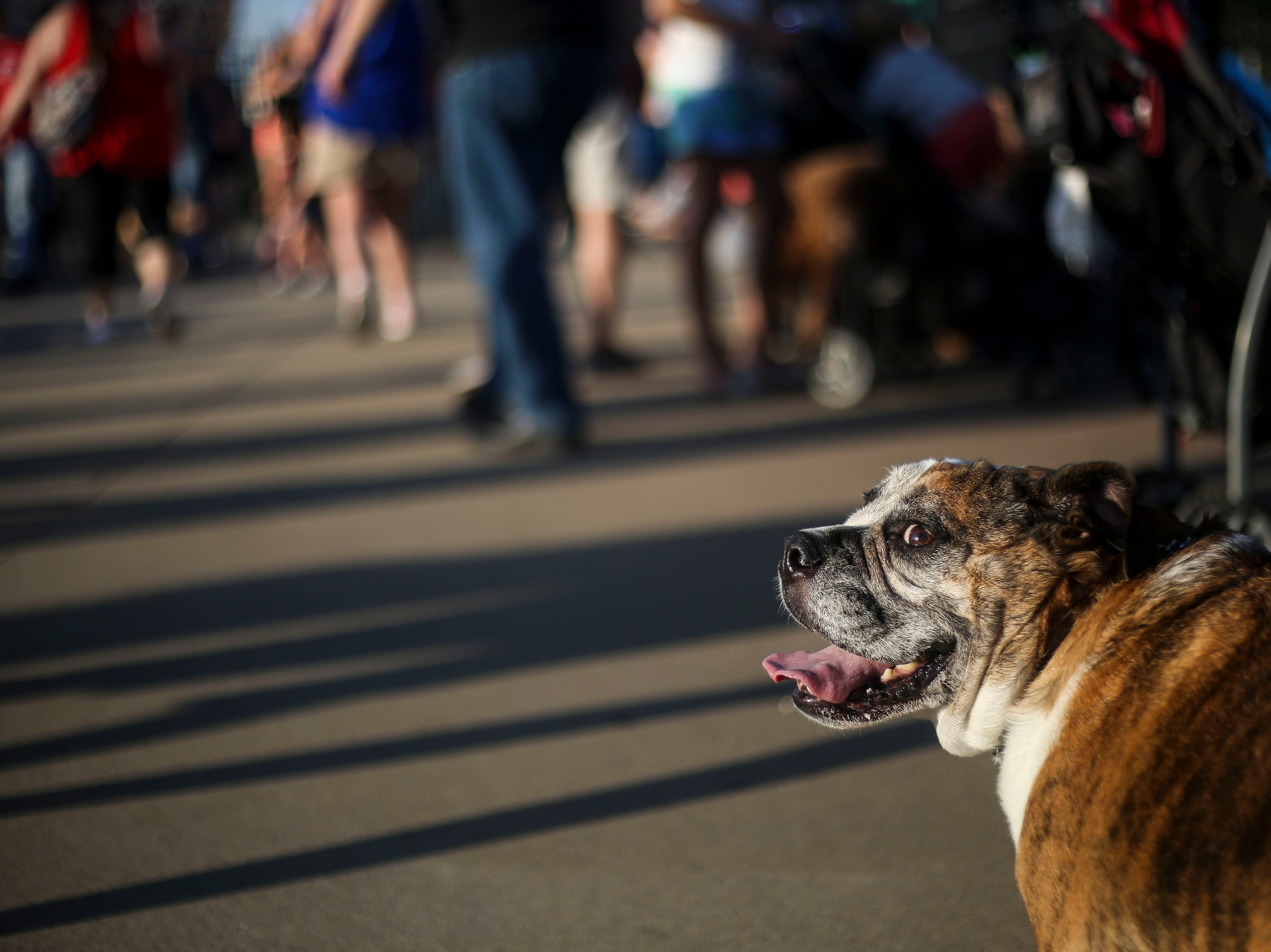 Louie the bulldog beagle mix watches other dogs walk past during the Louisville Bats v. Syracuse Mets game during Dog Day Nights at Louisville Slugger Field in downtown Louisville, Ky. on Tuesday, May 7, 2019.
