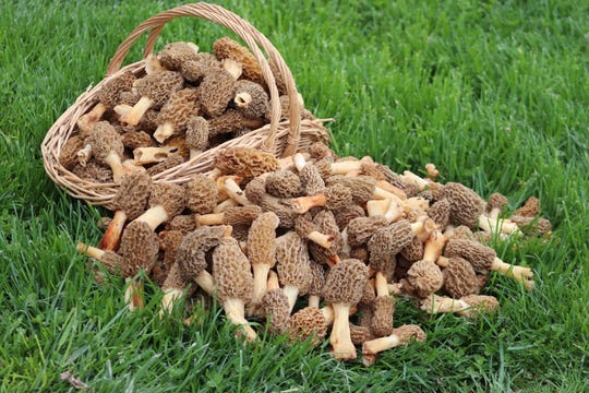 Pictured here are some of the 350 morels the Yoders found in their woods.