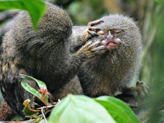Pygmy marmosets, the smallest monkeys in the world. The Amazonian mammals' small size makes them a target of animal trafficking.