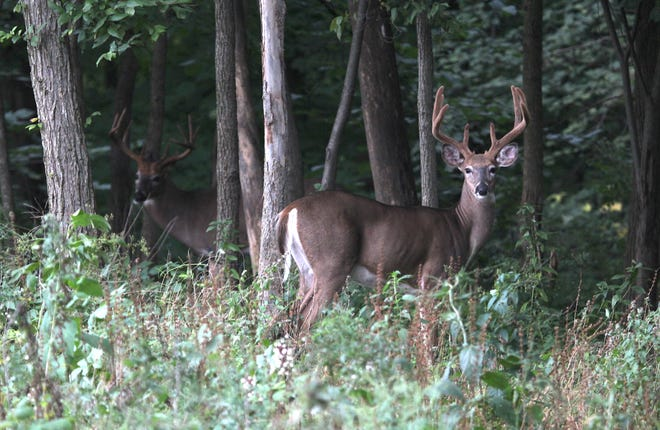 Two bucks look up while browsing along the edge of a Wisconsin woodlot.