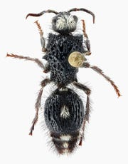 A pin holds a velvet ant specimen in place. The larva of these ants live inside another insect as they develop.