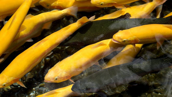 On Monday, the Arkansas Game and Fish Commission stocked a small number of gold colored Rainbow Trout along with regular Rainbow Trout.
