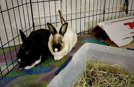 "Meghan and Kate, a bonded pair that Walkup refers to as ""the princesses,"" relax at the Southwest Florida House Rabbit Rescue."