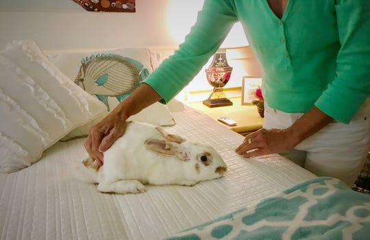 Lisa Walkup, co-founder of the Southwest Florida House Rabbit Rescue, coaxes Milo, a rabbit the rescue found stuffed in a bag with mites, parasites, damaged ears. He's now healthy under the rescue's care.