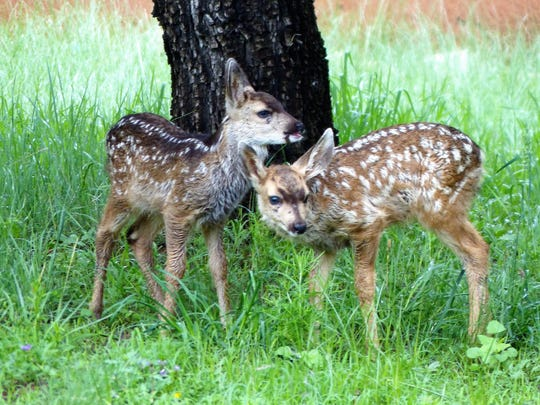 Fawns, and other wildlife, are abundant throughout Ruidoso and Lincoln County. The adorable babies are still young enough to have their spots.