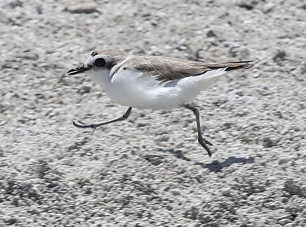 A snowy plover scampers across the dry playa at the northwest end of Salton Sea, April 30, 2019.