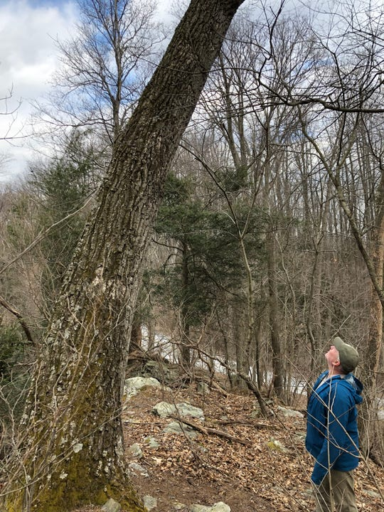 Could this chestnut oak be more than 300 years old? Even 400? Longwood Garden arborist Scott Wade confirmed that several trees along a steep slope in southeastern York County live in a unique old growth forest.